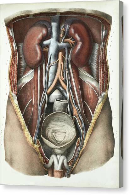 Abdomen Canvas Print - Urinary System by Science Photo Library
