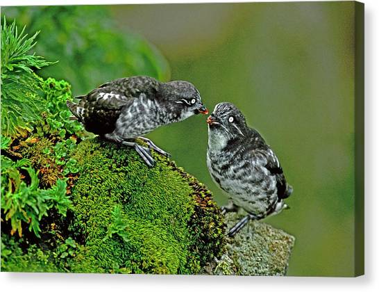 Auklets Canvas Print - Usa, Alaska, Pribilof Islands, St by Jaynes Gallery