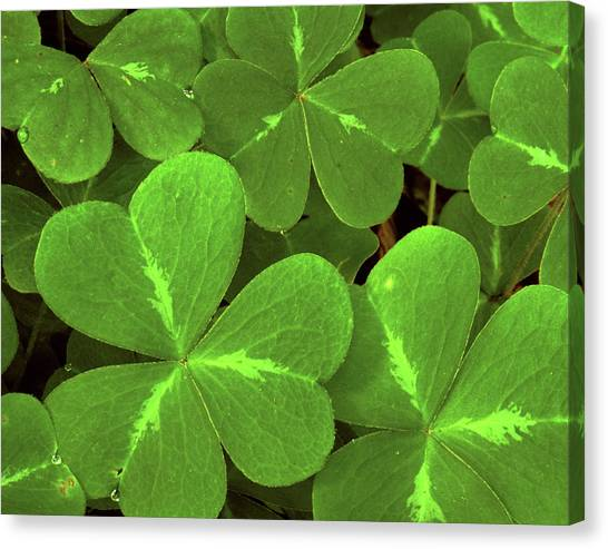 Clover Canvas Print - Usa, California, Muir Woods by Jaynes Gallery