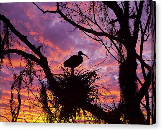 Ibis Canvas Print - Usa, Florida Ibis On Nest At Sunset by Jaynes Gallery