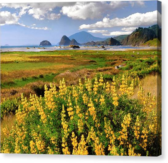 Beach Cliffs Canvas Print - Usa, Oregon Landscape Of Yellow Lupine by Jaynes Gallery