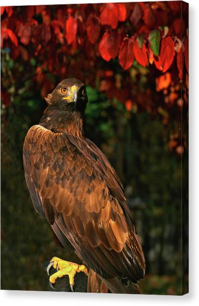 Accipitridae Canvas Print - Usa, Oregon Portrait Of Red-tailed Hawk by Jaynes Gallery