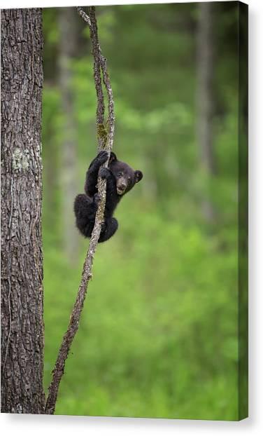 Black Bears Canvas Print - Usa, Tennessee Black Bear Cub Playing by Jaynes Gallery