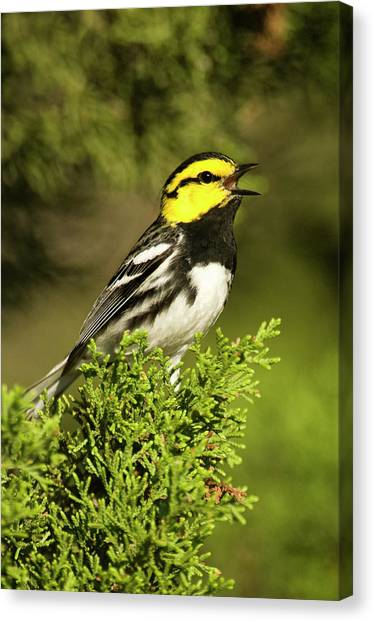 Warblers Canvas Print - Usa, Texas, Hill Country, Mike Murphy by Jaynes Gallery