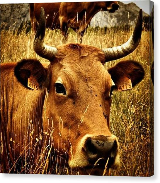 Farm Animals Canvas Print - #vacas #cows #ganado #farms #animals by Neli Garcia