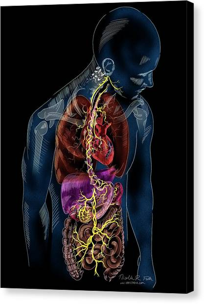 Vagus Nerve Anatomy Canvas Print by Nicolle R. Fuller/science Photo Library
