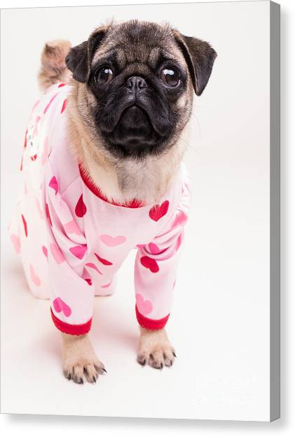 Pugs Canvas Print - Valentine's Day - Adorable Pug Puppy In Pajamas by Edward Fielding