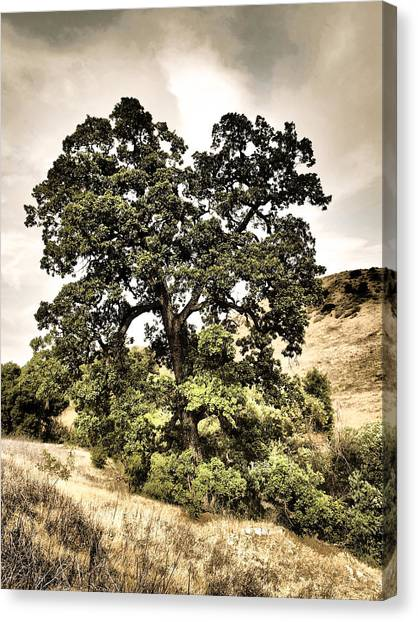 Valley Oak Canvas Print