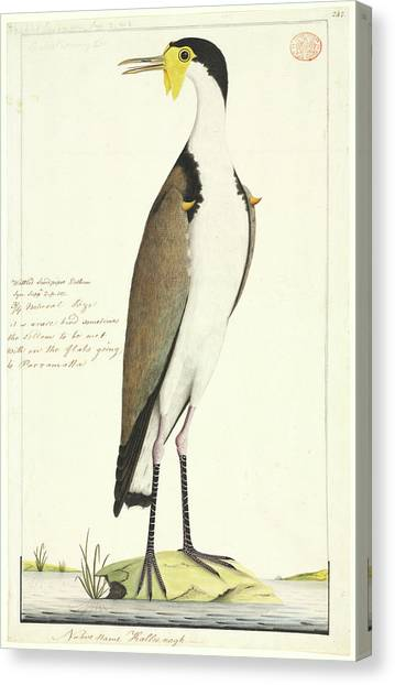 Lapwing Canvas Print - Vanellus Miles by Natural History Museum, London