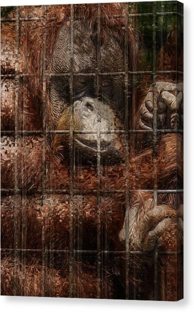 Orangutans Canvas Print - Vanishing Cage by Jack Zulli