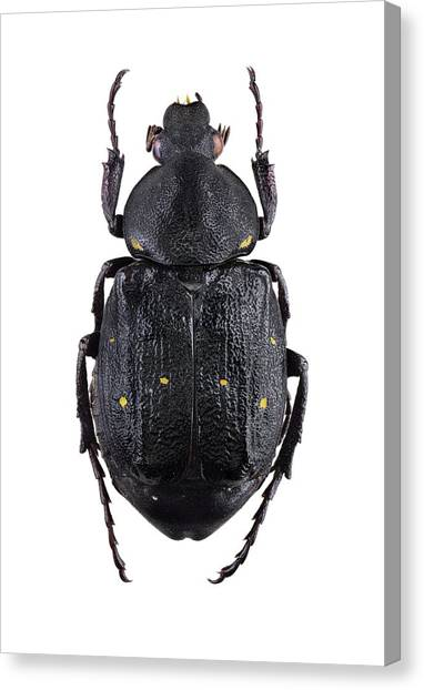 Variable Chafer Canvas Print by F. Martinez Clavel