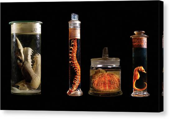 Centipedes Canvas Print - Various Animal Specimens by Natural History Museum, London