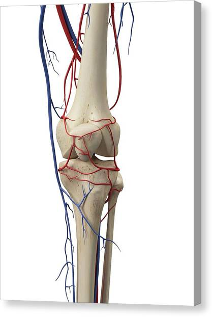 Normal Canvas Print - Vascular System by Sciepro
