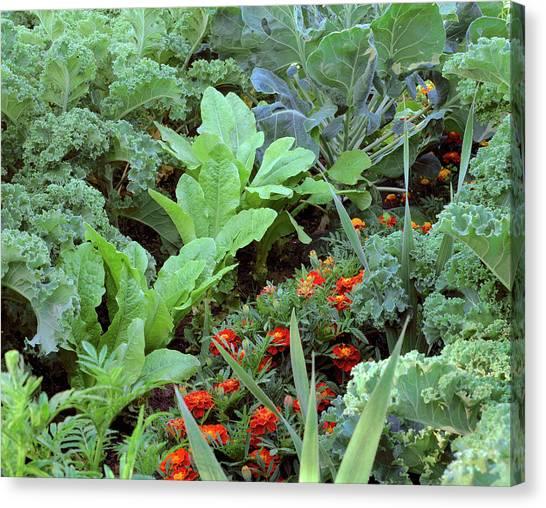 Vegetable Garden Canvas Print - Vegetable Garden 28a. by Bjorn Svensson/science Photo Library