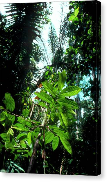 Tropical Rainforests Canvas Print - Vegetation In The Amazonian Rain Forest. by Andrew Mcclenaghan/science Photo Library