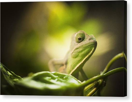 Veiled Chameleon Is Watching You Canvas Print