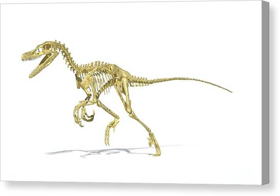 Velociraptor Canvas Print - Velociraptor Dinosaur Skeleton by Leonello Calvetti/science Photo Library