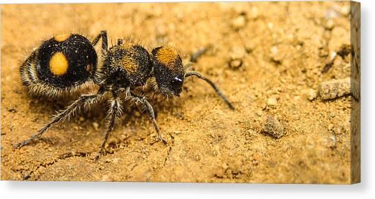 Velvet Ant Canvas Print
