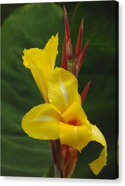 Velvety Yellow Iris  Canvas Print