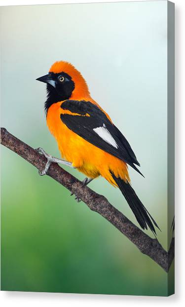 Venezuelan Canvas Print - Venezuelan Troupial Icterus Icterus by Panoramic Images