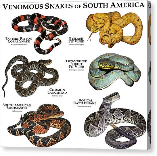 Coral Snakes Canvas Print - Venomous Snakes Of South America by Roger Hall
