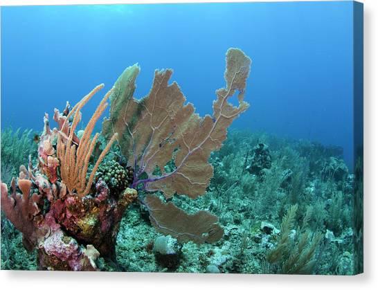 Belize Canvas Print - Venus Sea Fan (gorgonia Flabellum by Pete Oxford