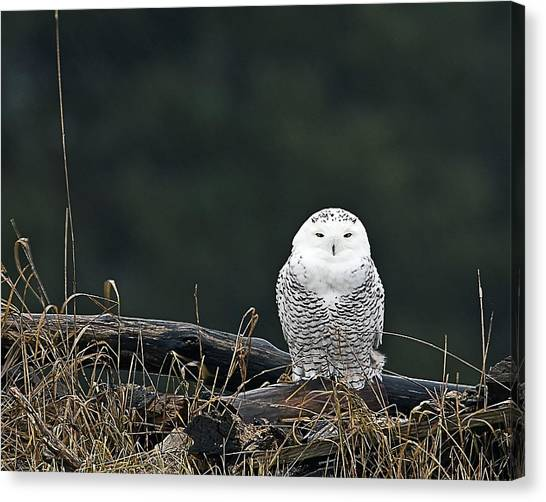 Vermont Snowy Owl Canvas Print