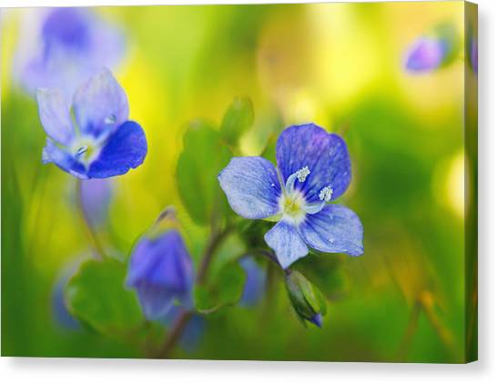 Veronica Spring Canvas Print