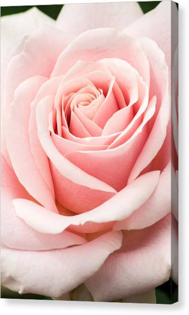 Vertical Pink Rose Canvas Print