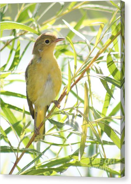 Very Yellow Warbler Canvas Print
