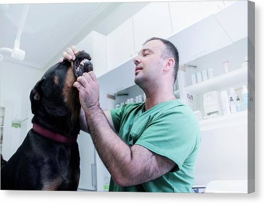 Rottweilers Canvas Print - Vet Examining A Dog by Sigrid Gombert/science Photo Library
