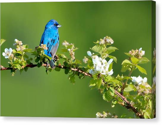 Buntings Canvas Print - Vibrance Of Spring by Rob Blair