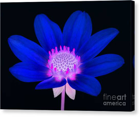 Vibrant Blue Single Dahlia With Pink Centre On Black. Canvas Print by Rosemary Calvert