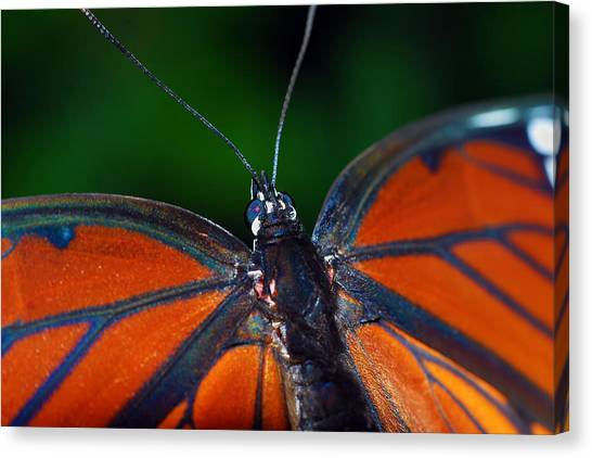 Viceroy Canvas Print