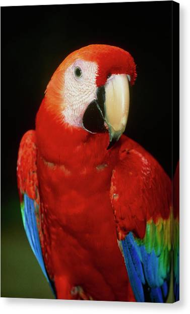 Macaw Canvas Print - View Of A Scarlet Macaw (ara Macao) by William Ervin/science Photo Library