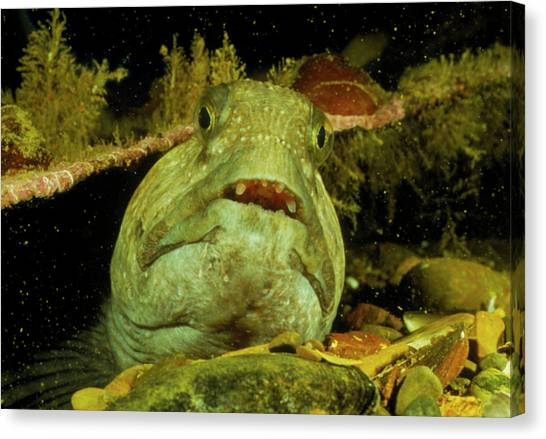 View Of A Wolf Fish Canvas Print by Rudiger Lehnen/science Photo Library