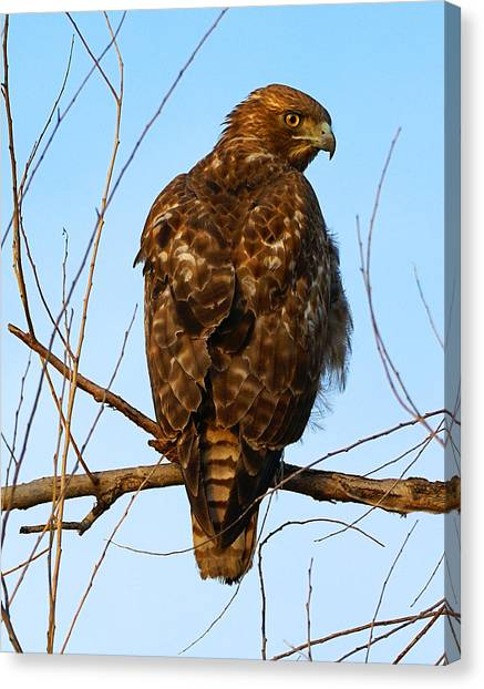 Vigilant Red-tailed Hawk  Canvas Print