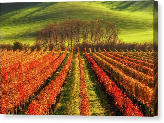 Rolling Hills Canvas Print - Vine-growing by Piotr Krol (bax)
