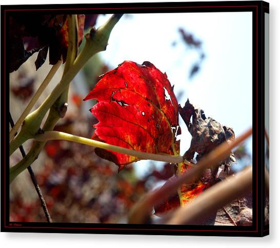 Vine Leaf At Fall. 02 Canvas Print by Arik Baltinester