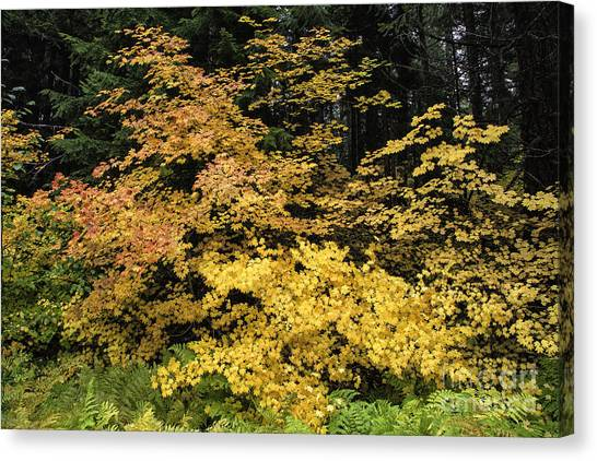 Vine Maple Glory Canvas Print