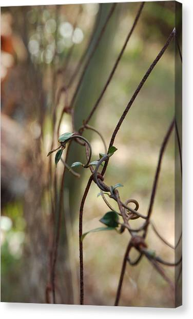 Vine On Rusted Fence Canvas Print