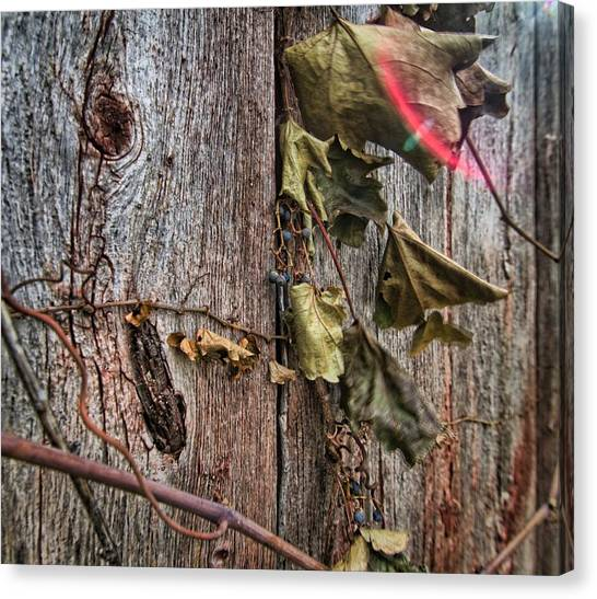 Vines And Barns Canvas Print