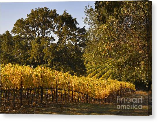 Vines And Oaks Alexander Valley Canvas Print