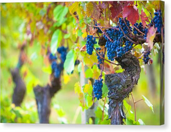 Vineyard Grapes Ready For Harvest Canvas Print by Susan Schmitz