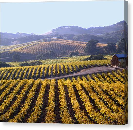 6b6386-vineyard In Autumn Canvas Print
