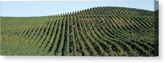 Vineyard In Napa Canvas Print - Vineyard, Napa Valley, Napa County by Panoramic Images