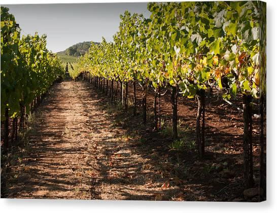 Vineyard Soil Of Sonoma Canvas Print by Kent Sorensen