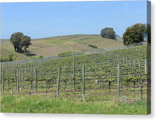 Vineyards In Napa Valley California Canvas Print
