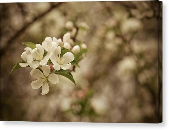 Vintage Crabapple Blossom Canvas Print