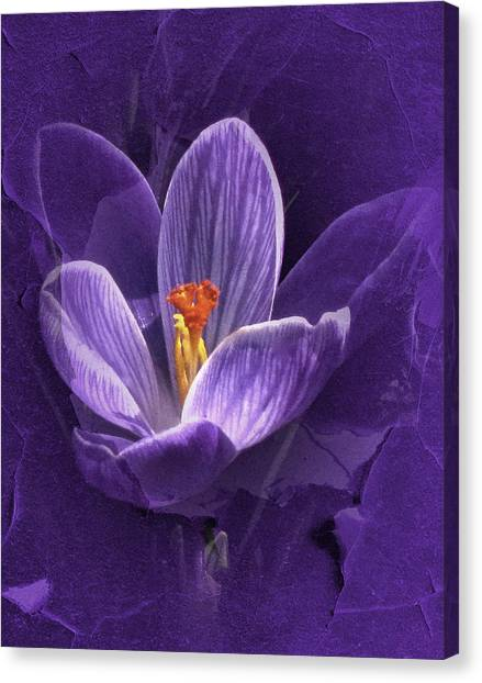 Vintage Crocus Canvas Print